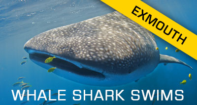 Click here to find out about our Whale Shark Dives