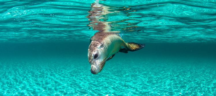 Carnac Island Sea Lions