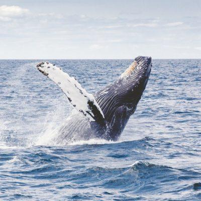 Humpback Whale Rottnest